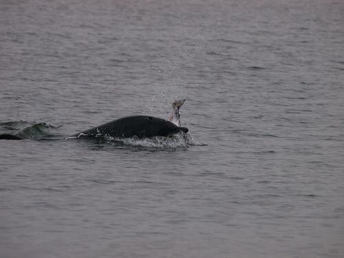 Delfín při lovu