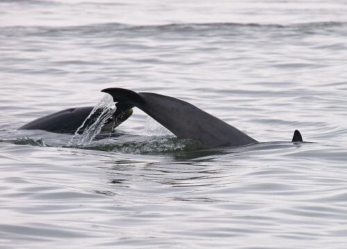 Delfíni v zátoce Moray Firth